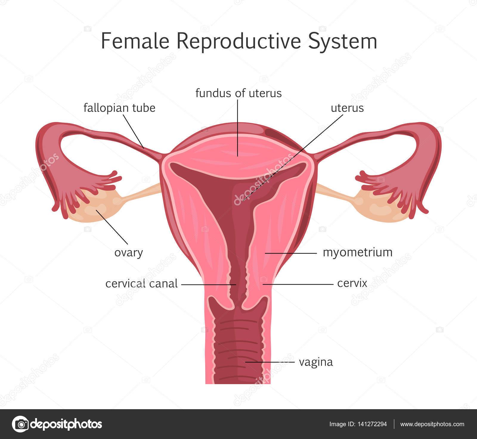 sistema reproductivo femenino — Vector de stock © fancy.tapis.gmail ...