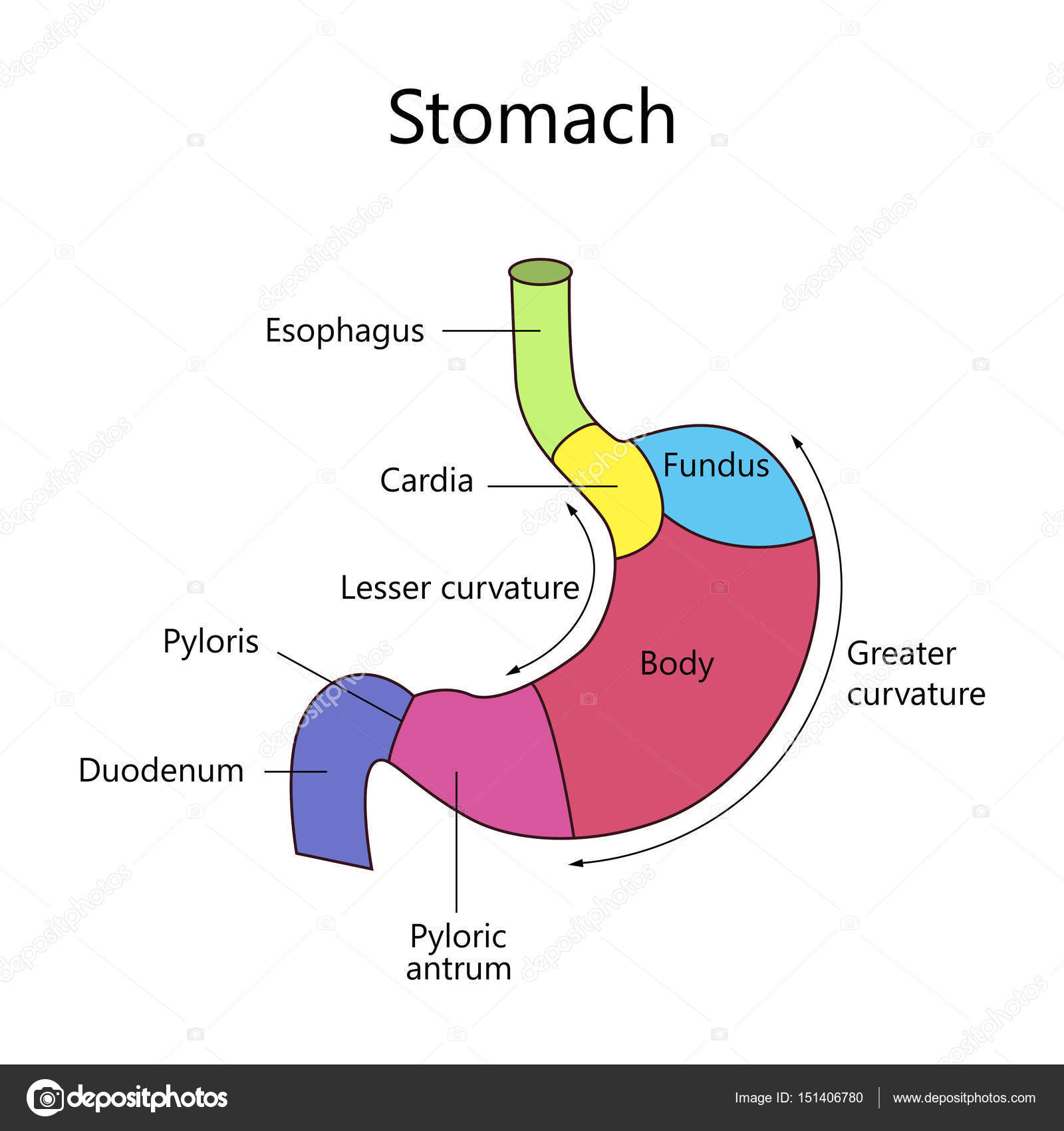 Estómago humano estructura interna — Vector de stock © fancy.tapis ...