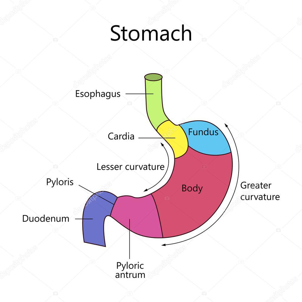 Ungewöhnlich Kreislaufsystemdiagramm Galerie - Menschliche Anatomie ...