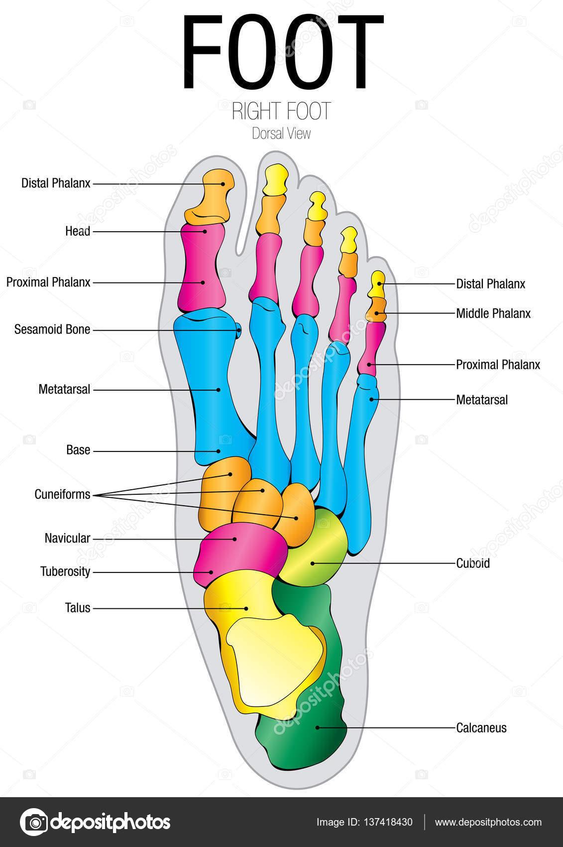Gráfico de vista Dorsal de pie con el nombre de partes - Vector de ...