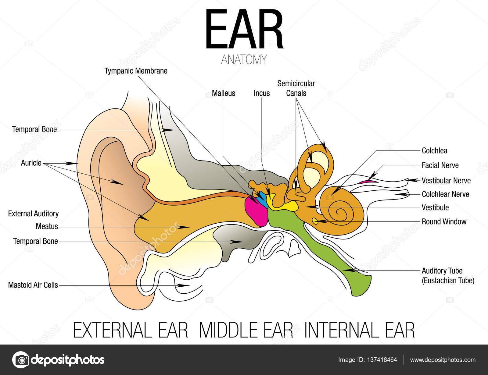Anatomia da orelha com o nome das peas imagem vetorial vetores anatomia da orelha com o nome das peas imagem vetorial vetor de alejomiranda ccuart Gallery