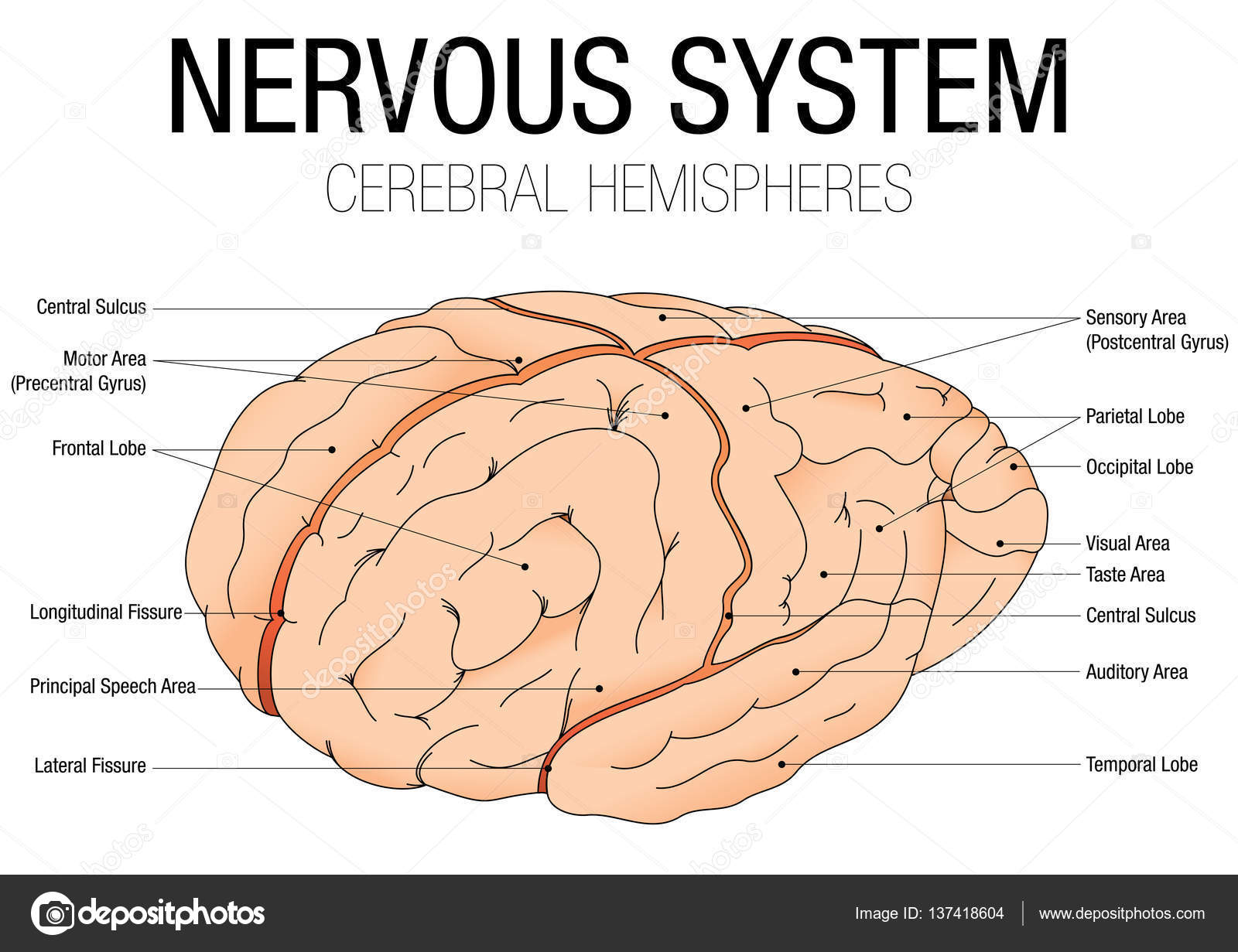 NERVOUS SYSTEM - CEREBRAL HEMISPHERES - Vector image — Stock Vector ...