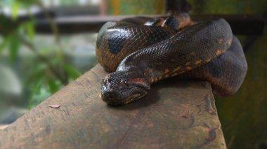 Anaconda on a wooden log. Scientific name: Eunectes murinus