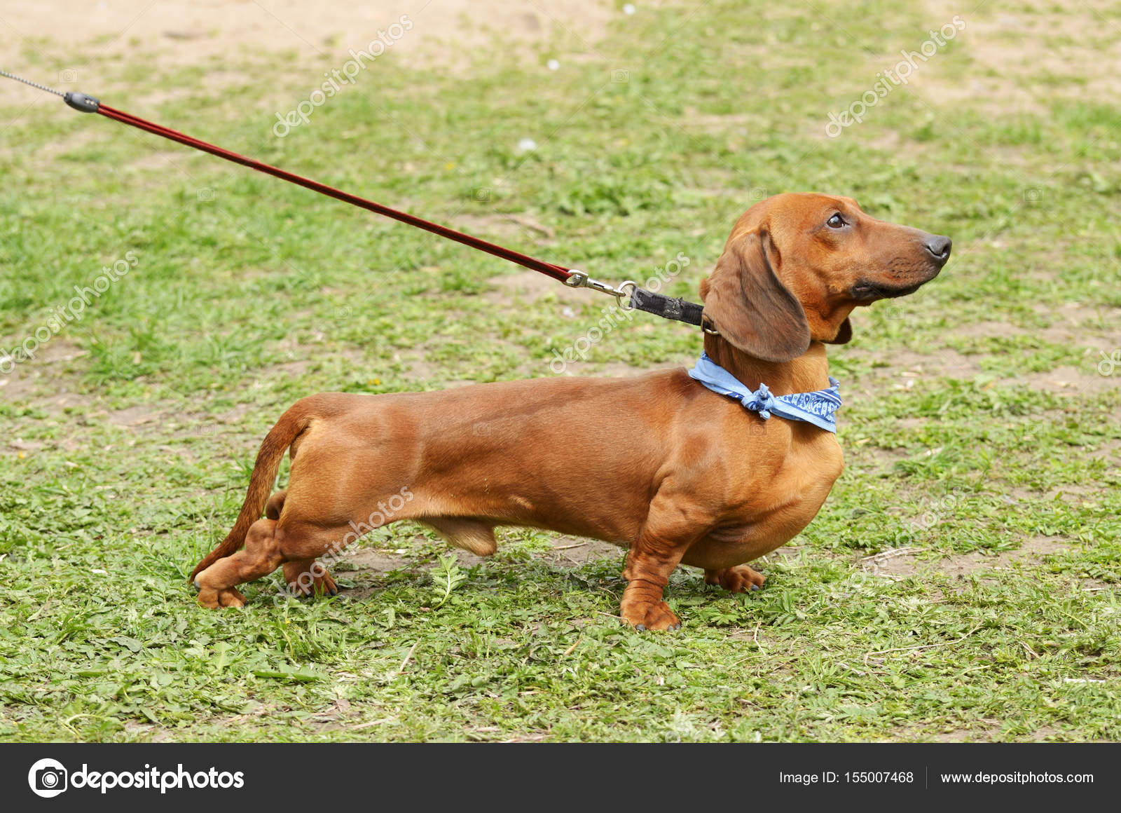 the dachshund is a hunting dog stock photo parasunak yandex ru
