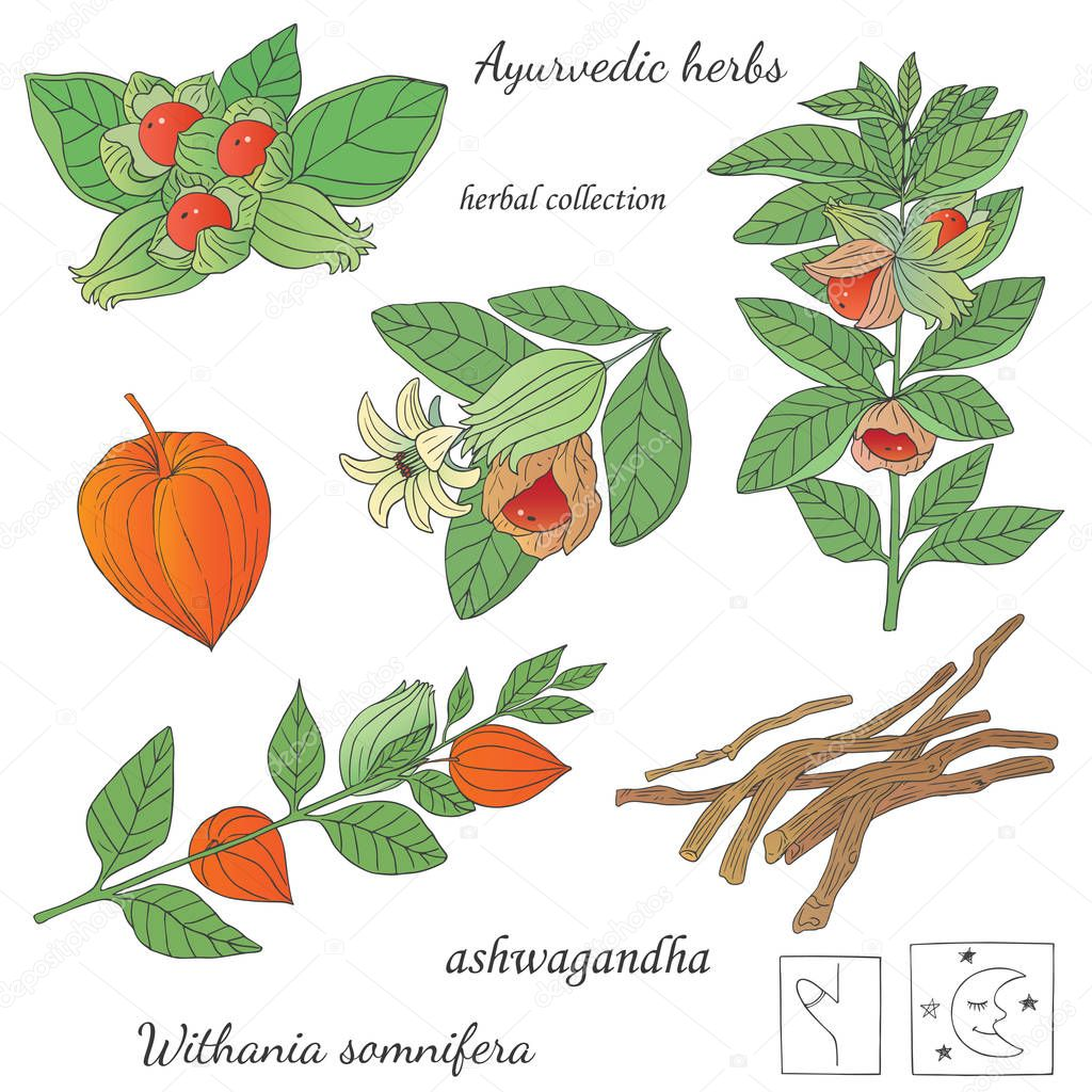 Illustration of  plant ashwagandha
