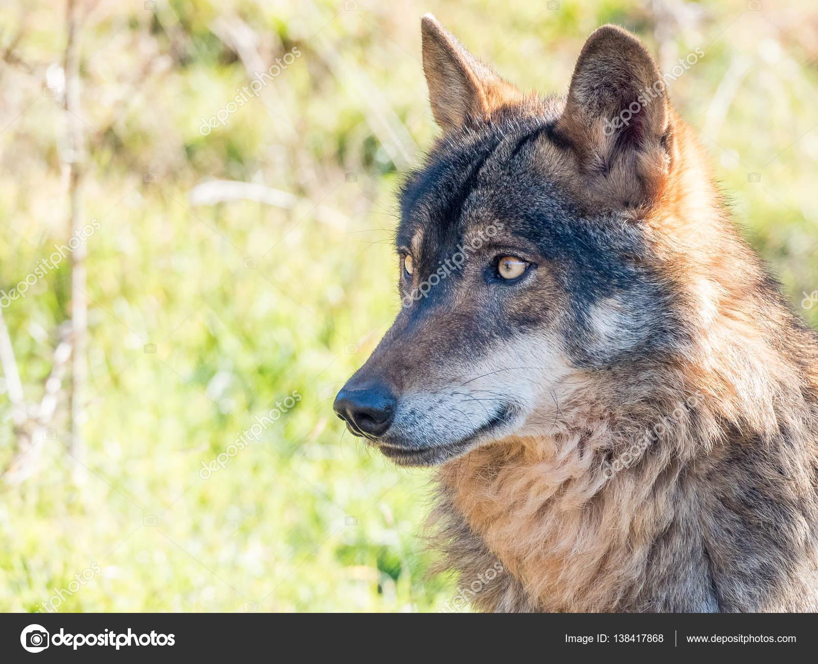 Fotos Lobos Hermosos Lobo Ibérico Canis Lupus Signatus En