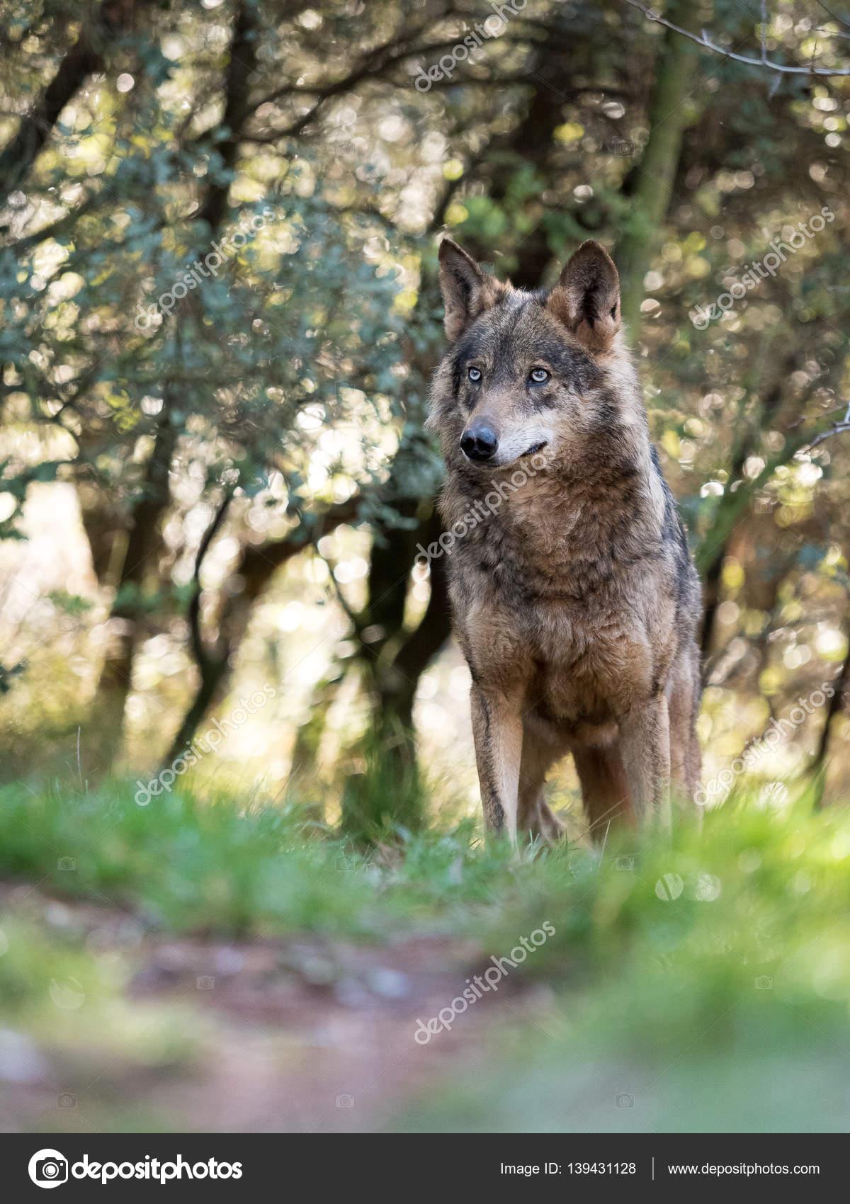 Fotos Lobos Bonitos Mujer Lobo Ibérico Canis Lupus Signatus En