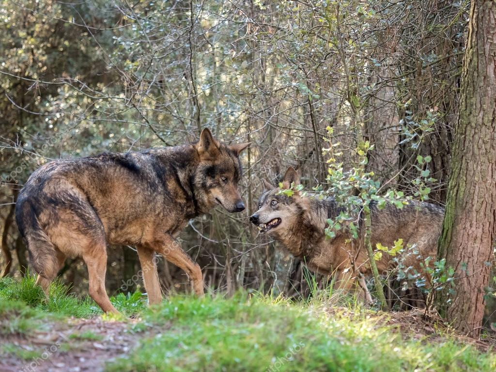 Couple of iberian wolves (Canis lupus signatus) in heat season