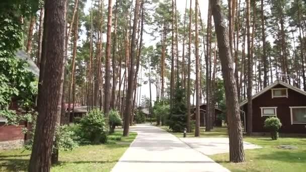 borovice lesní v létě