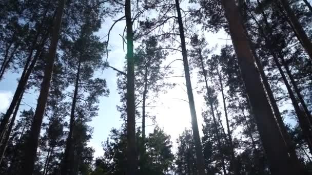 borový les v odpoledních hodinách