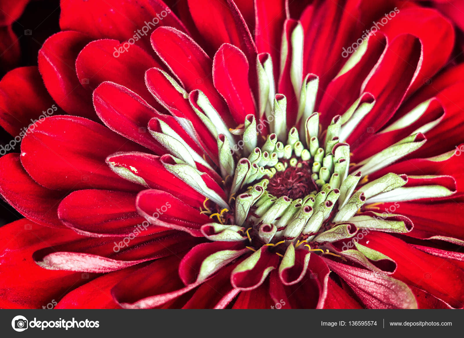 Zinnia elegans known as youth and age common zinnia or elegant zinnia elegans known as youth and age common zinnia or elegant zinnia an annual flowering plant of the genus zinnia one of the best known zinnias izmirmasajfo Image collections