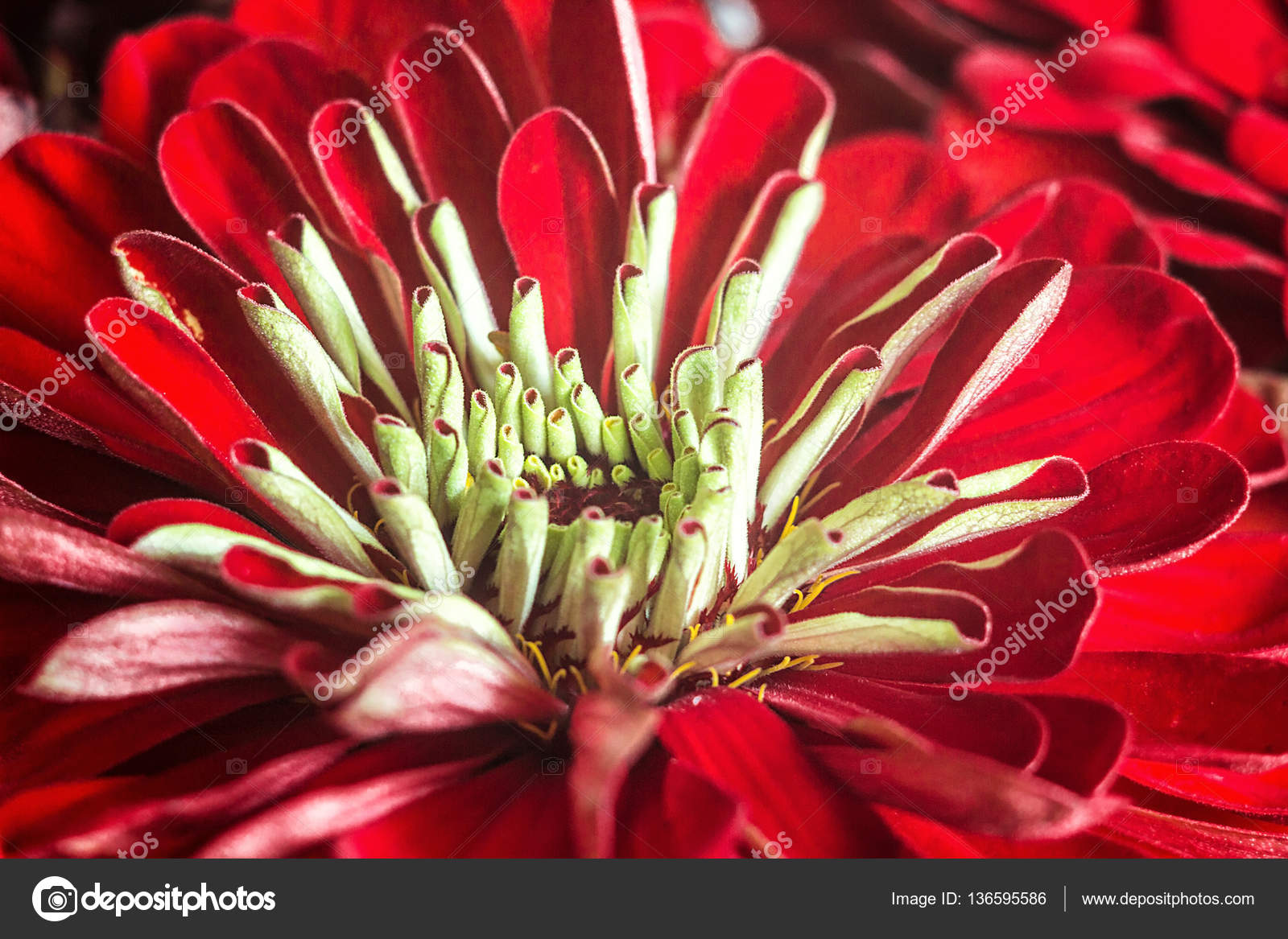 Zinnia elegans known as youth and age common zinnia or elegant zinnia elegans known as youth and age common zinnia or elegant zinnia an annual flowering plant of the genus zinnia one of the best known zinnias izmirmasajfo