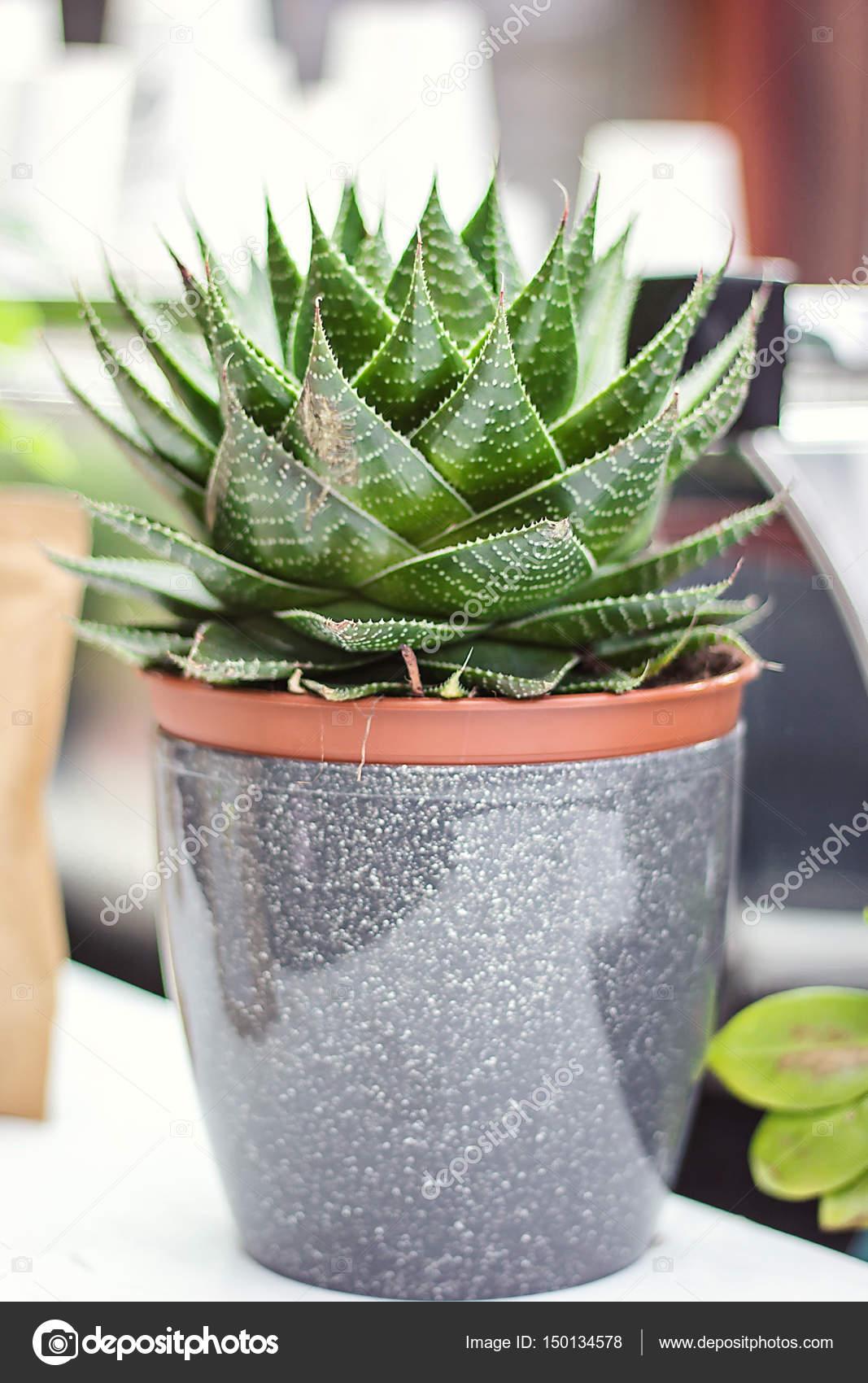 Potted Aloe Vera Plant. Aloe vera leaves tropical green medicinal ...