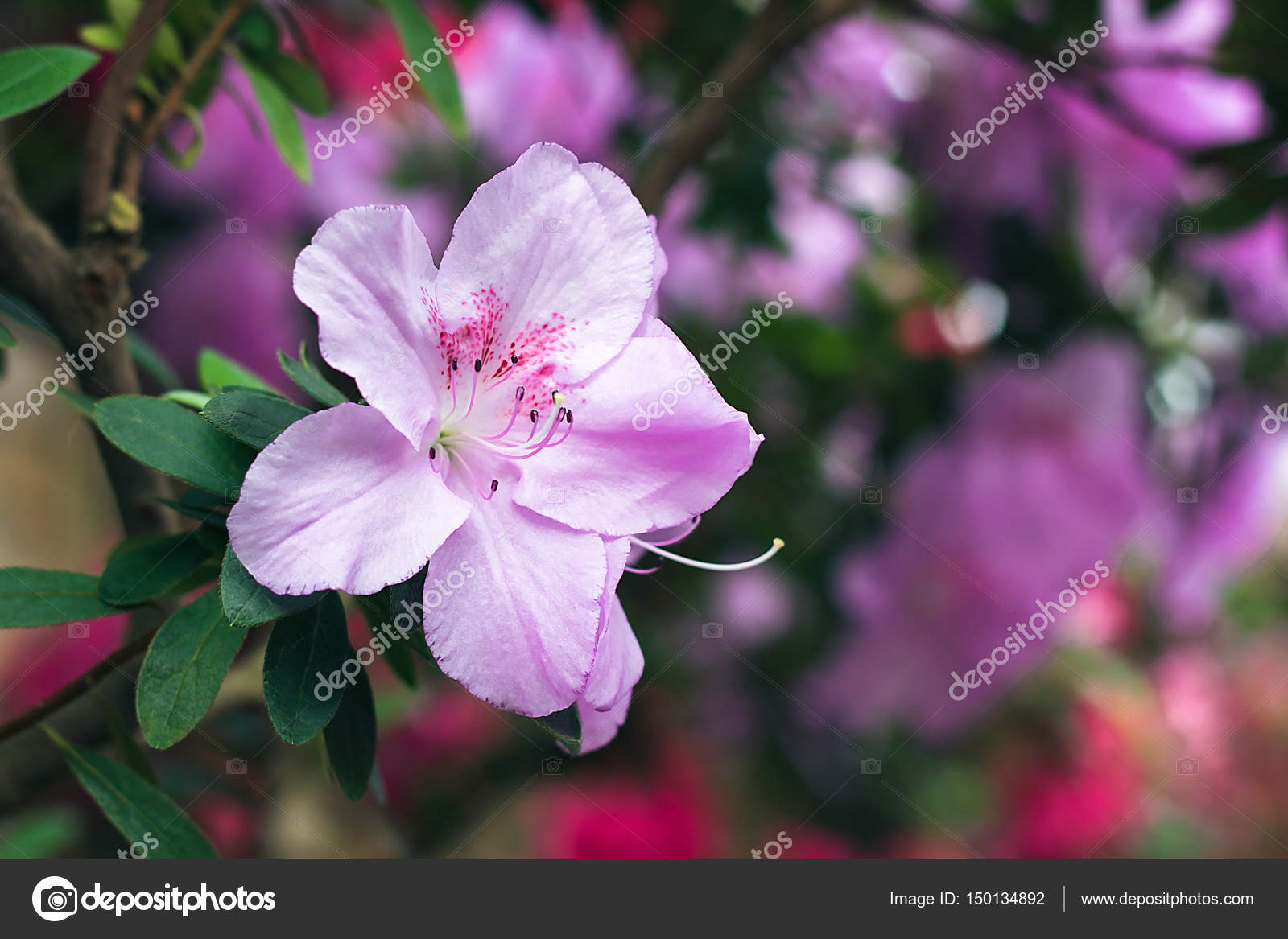 https://st3.depositphotos.com/7043674/15013/i/1600/depositphotos_150134892-stock-photo-beautiful-pink-rhododendron-tree-blossoms.jpg