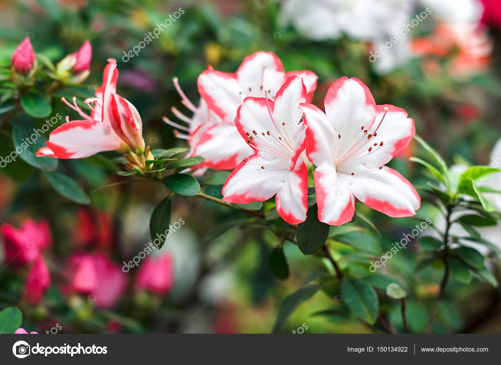 https://st3.depositphotos.com/7043674/15013/i/1600/depositphotos_150134922-stock-photo-beautiful-pink-rhododendron-tree-blossoms.jpg