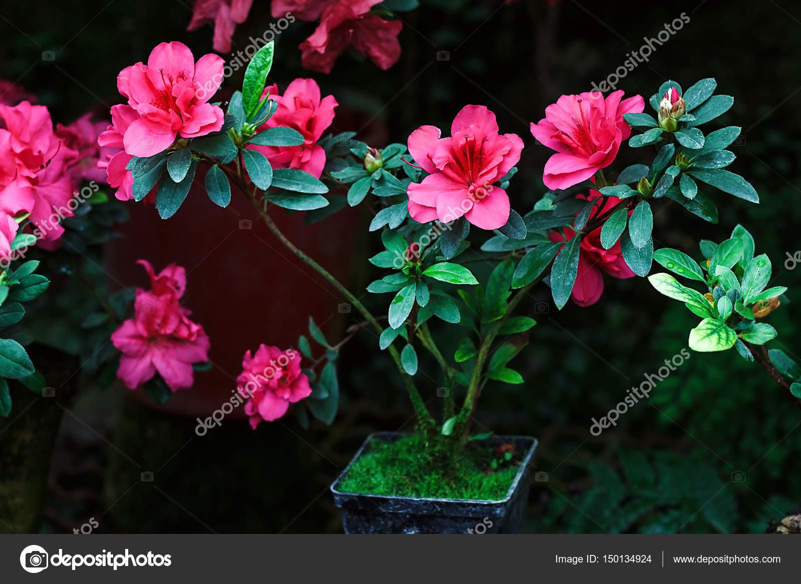 https://st3.depositphotos.com/7043674/15013/i/1600/depositphotos_150134924-stock-photo-beautiful-pink-rhododendron-tree-blossoms.jpg