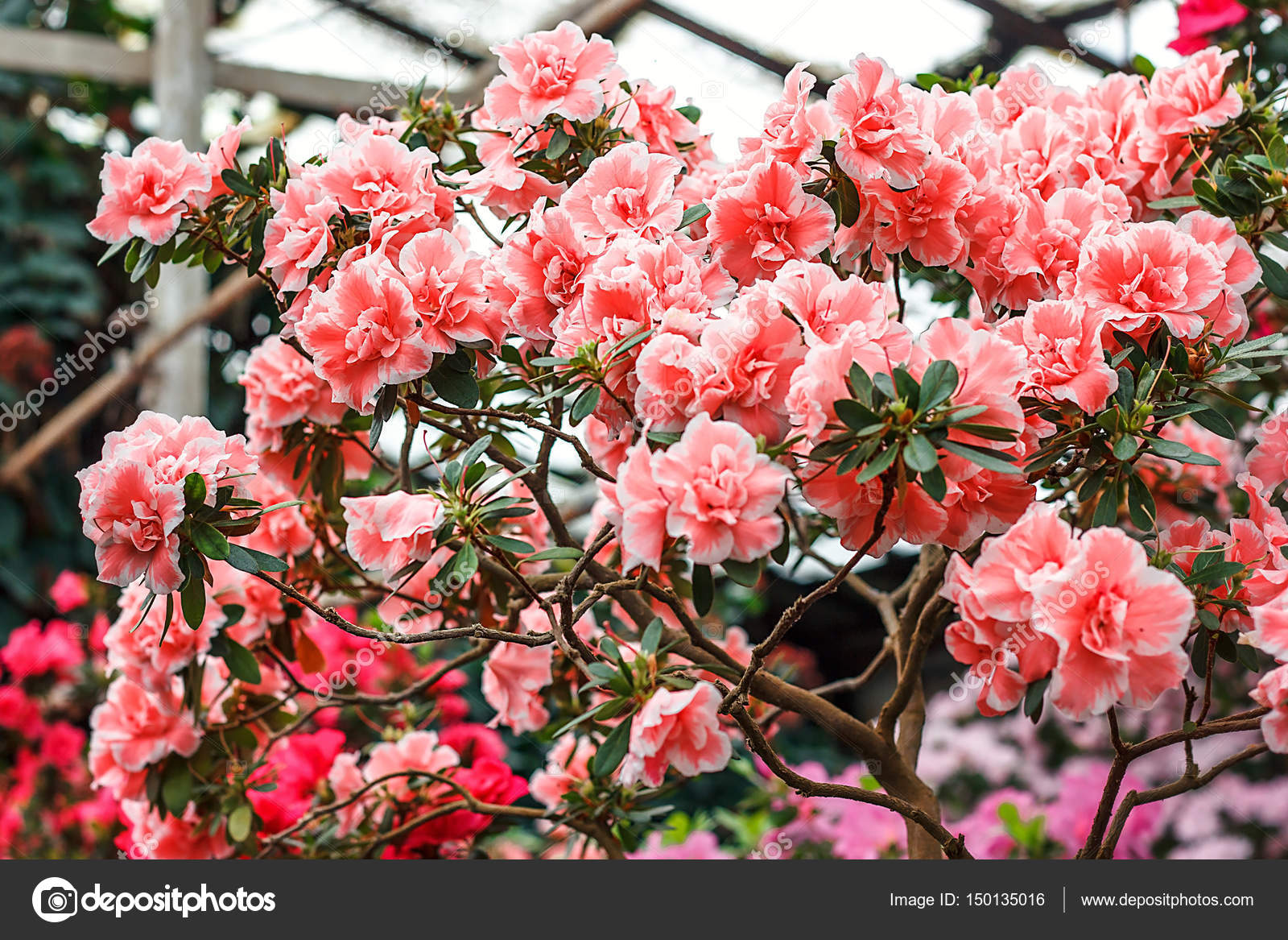 https://st3.depositphotos.com/7043674/15013/i/1600/depositphotos_150135016-stock-photo-beautiful-pink-rhododendron-tree-blossoms.jpg