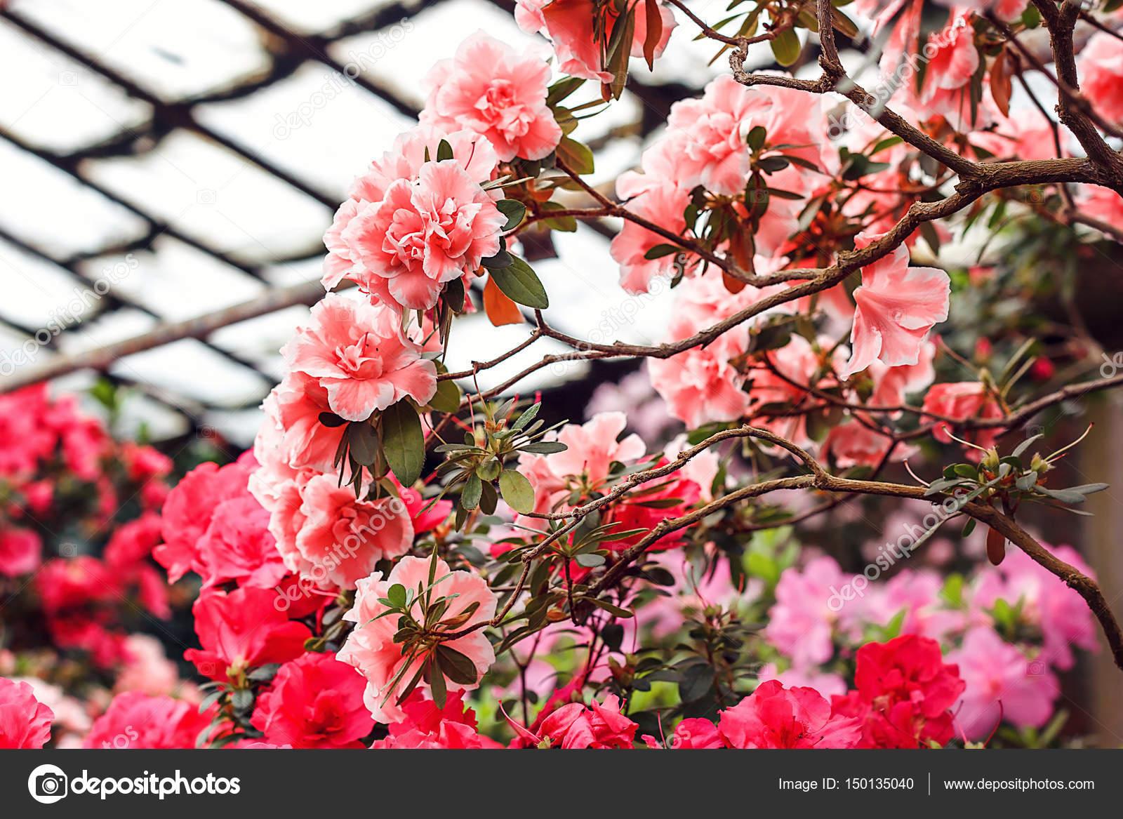 Schöne rosa Rhododendron-Blüten im Frühling. Azalee im Gewächshaus ...