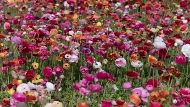 Karlovarské květinové pole Tecolote Ranunculus Perský máslový pohár Květiny Čas vypršel