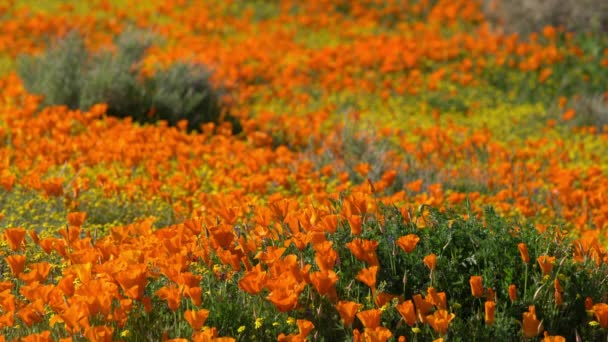 Shallow Focus California Poppy Spring Flowers Super Bloom