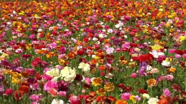 Perský máselník květinové pole Ranunculus Asiaticus