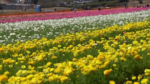 Karlovarské květinové pole Perský máselník Ranunculus Asiaticus Kalifornie USA