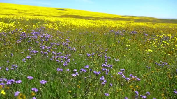 3 Axis Dolly Goldfields  Tansy Phacelia Flowers Super Bloom California Carrizo Plain National Monument Right