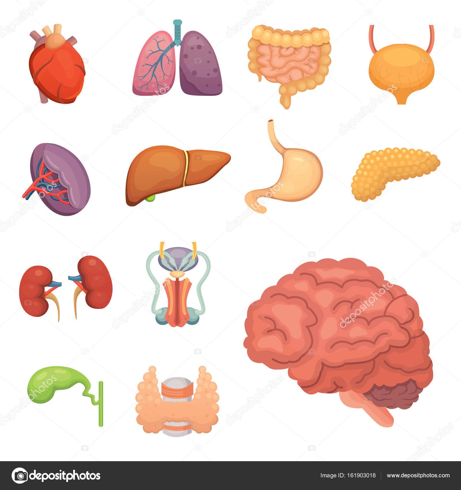 Conjunto de órganos humanos de dibujos animados. Anatomía del cuerpo ...