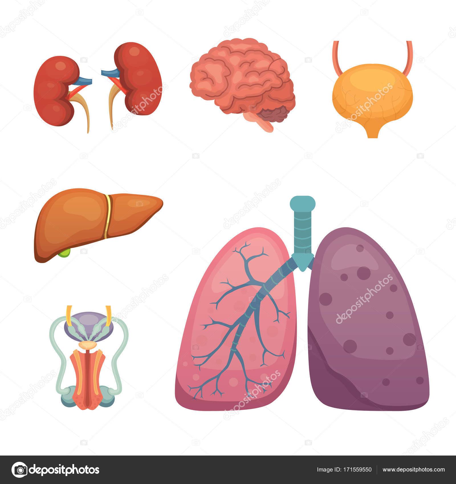 Cartoon-menschlichen Organen-Satz. Anatomie des Körpers ...