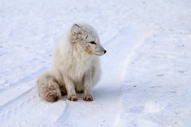 wildlife, northern white fox in natural habitat, Arctic fox in t