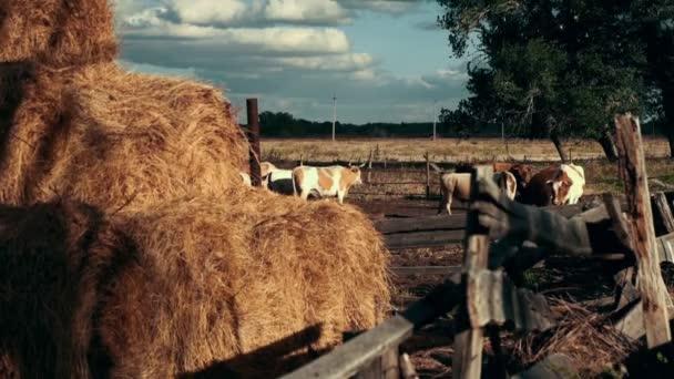 Krajina mléčného skotu chodit na pastvu na zvířecí farmu