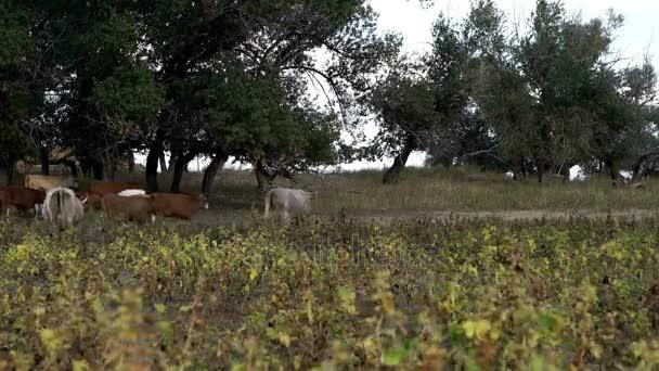 Mandria di mucche sul campo presso azienda agricola zootecnica. Bovini di latte a piedi su ranch