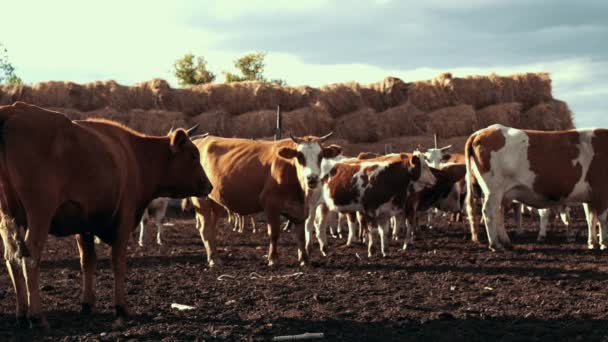 Stádo krav na farmě zvířat na pozadí seno zásobníku.