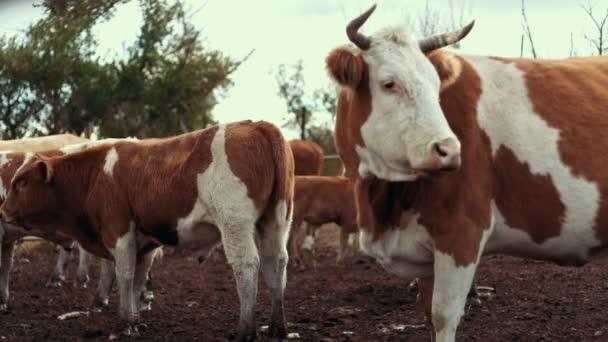 Bílá červená kráva stojící na pastviny na venkovské farmě. Stádo krav na farmě zvířat