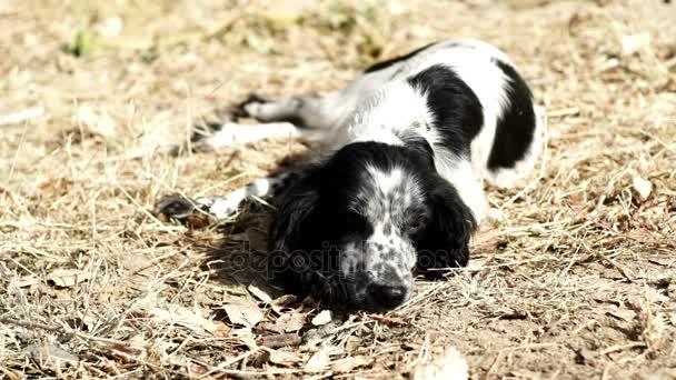 Cocker Spaniel mit schwarzen und weißen Farbe auf Trockenrasen liegen. . Hund auf der Suche in der Kamera