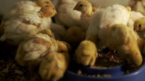 Small chickens quail eating food from bird feeders in poultry house