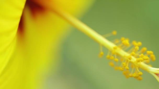 Kínai Hibiszkusz virág közeli bibe