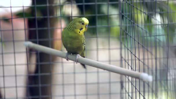 Wavy parrot sits on a perch in a zoo cage, past the people go.