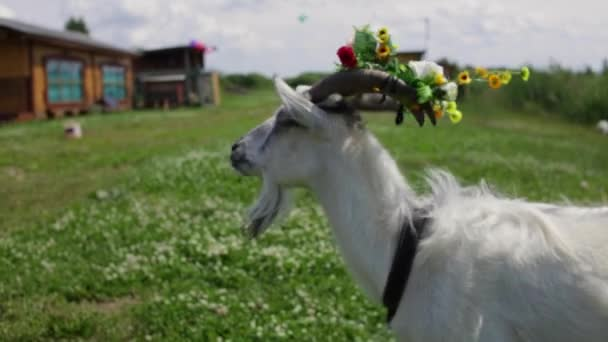 Funny Goat with a wreath in the horns chews grass, looks in the frame.