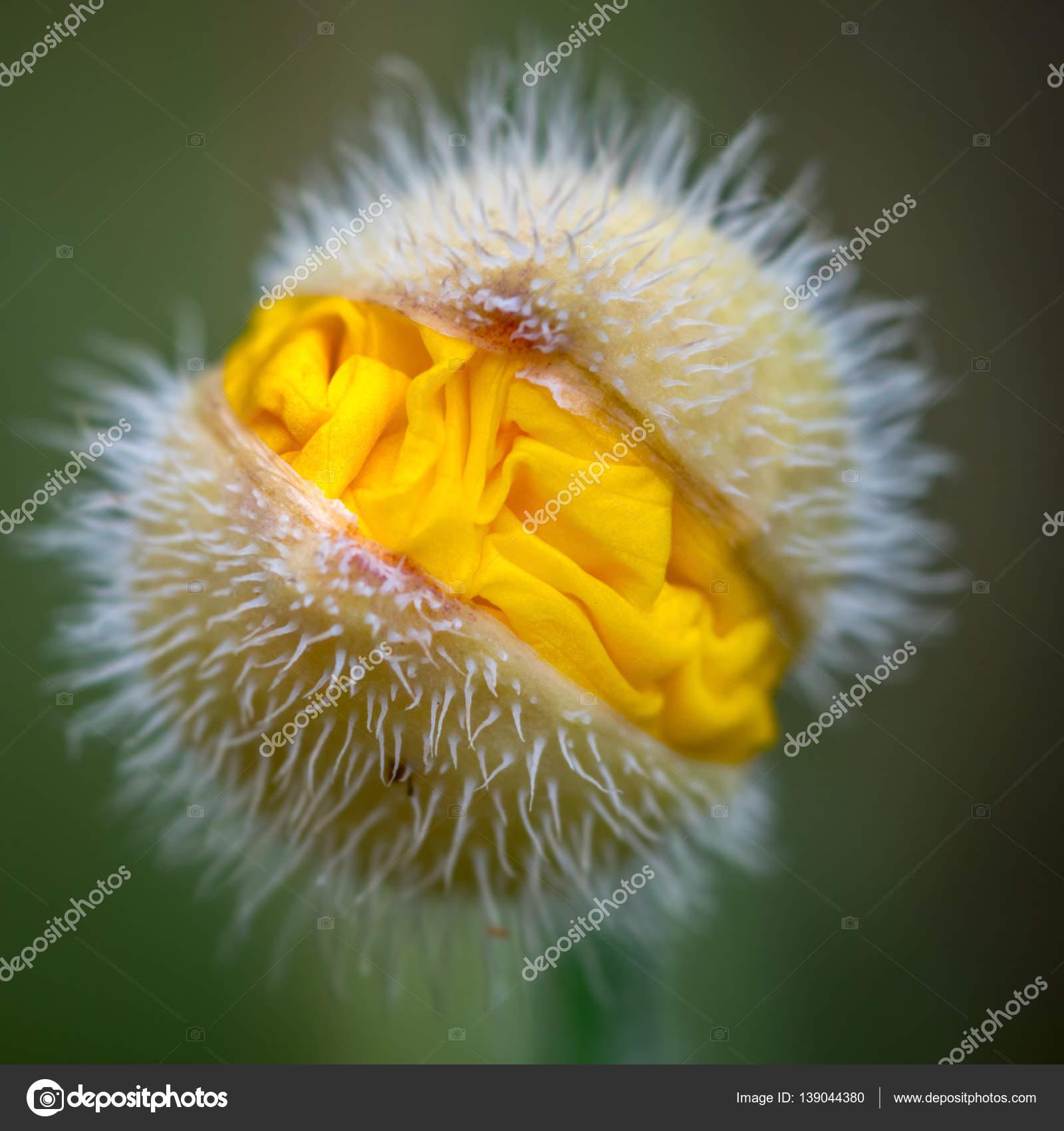 Yellow poppy flower head stock photo bearacreative 139044380 yellow poppy flower head stock photo mightylinksfo Choice Image