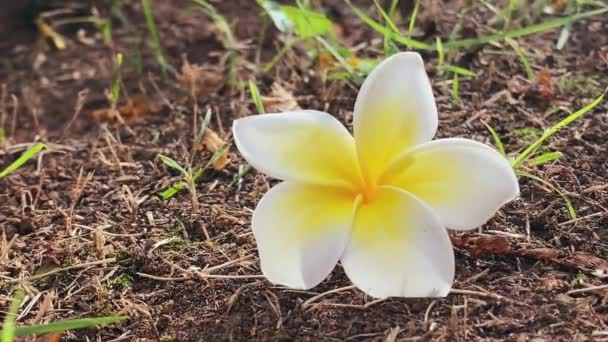 Yellow and white Frangipani on the ground. A beautiful and exotic flower with an exquisite aroma.