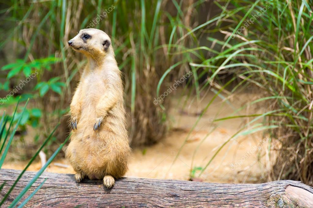 A Meerkat standing on a branch guarding its territory
