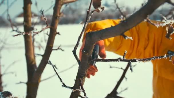 Muž kusy zmrzlé větve. Nůžky. Zimní