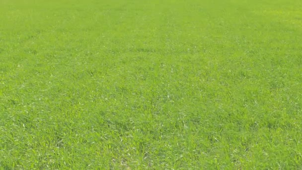 Green wheat field close up. Sunny windy weather.