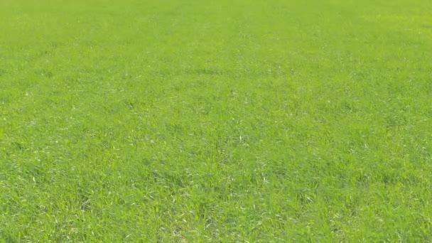 Zöld Búzamező közelről. Napos és szeles időjárás.