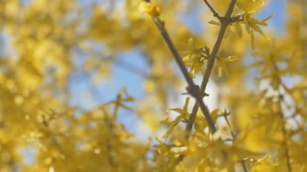 Forsythia Tree Flowers In Spring Time. Sunny.
