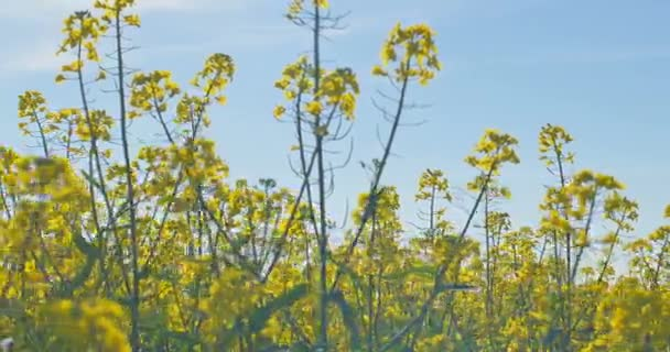 Blooming canola field. Rape on the field in summer. Bright Yellow rapeseed oil. Flowering rapeseed.