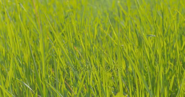 Green grass close-up. Wind blowing.