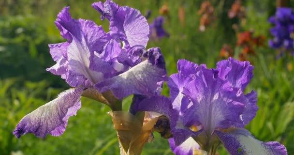 Violet iris flowers in a garden