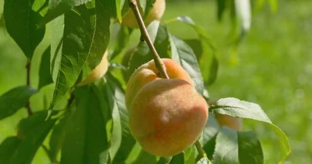 Őszibarack gyümölcsök lóg őszibarackfa. Közelről.